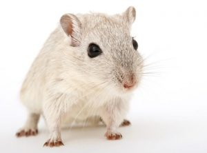 can you feed your pet rat carrots?