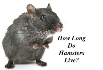 How long do Hamsters Live? (and How to Prolong it) | Petsy UK