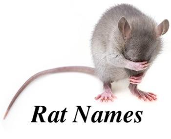 520 Rat Names The A Z Dictionary For Male Female And Pairs Petsy Uk