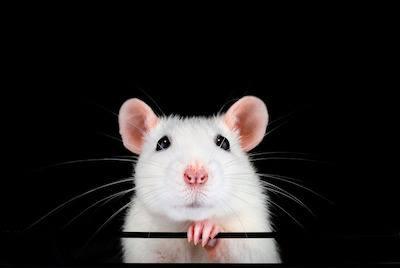 pet rats history