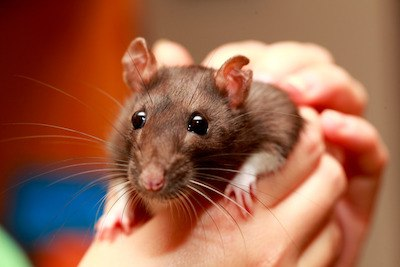 do rats make good pets