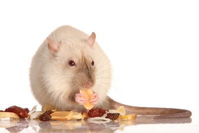 Pet Rat Caring Advice Tips On Prolonged Lifespan And More Petsy Uk
