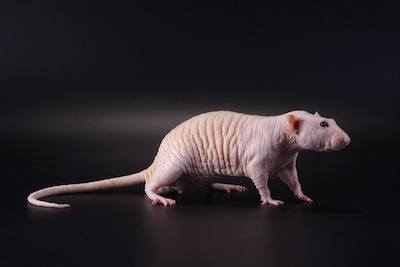 types of hairless rats
