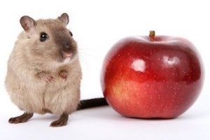 can hamsters eat apples